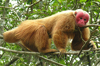 Лысый уакари (Cacajao calvus) - фото, фотография с http://upload.wikimedia.org/wikipedia/commons/8/8c/Male_uakari.jpg