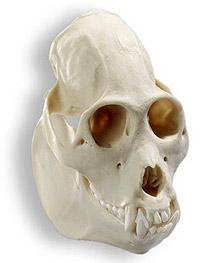 череп колумбийского ревуна (Alouatta palliata) - фото, фотография