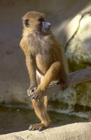 Кормление обезьян в неволе, чем кормить гиббонов лемуров ...