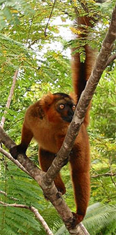Бурый лемур (Lemur fulvus), фото, фотография с http://travel.webshots.com